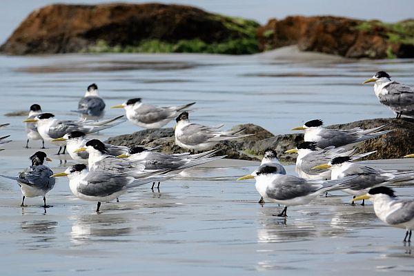 Crested Terns Cape Bridgewater
