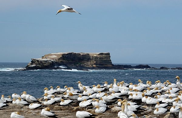 Gannet colony at Portland