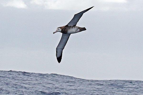 Wandering Albatross Juv. Image: Bob McPherson