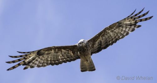 square-tailed kite flying 2