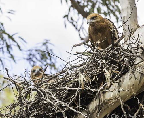 square-tailed kite on nest