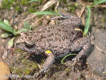 Brown Toadlet