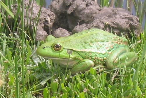 Growling Grass Frog. Image Trevor Graham.
