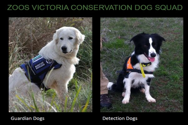 Harnett 1 detection dogs Zoos victoria