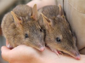 Eastern Barred Bandicoots captive breeding Zoos Victoria