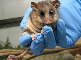 Zoos Victoria, Mountain Pygmy Possum breeding intro