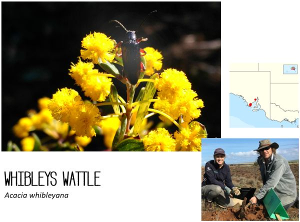 Whibleys Wattle