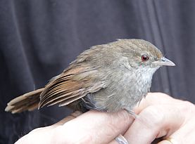 Bramwell intro Eastern Bristlebird rescue