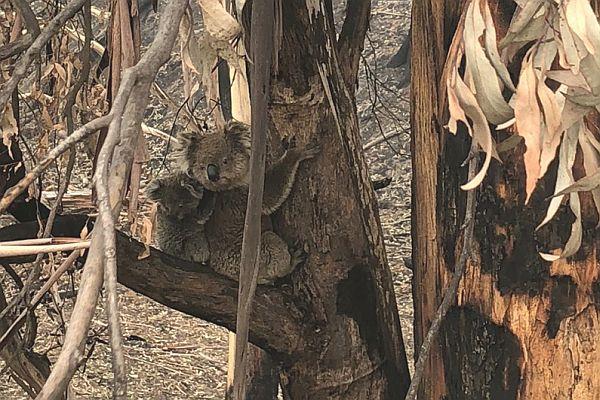 Cordy 1 koala in burnt area in talk to SWIFFT 26 March 2020