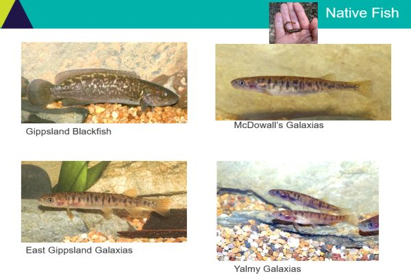 Tarmo Raadik 2 native fish - in talk to SWIFFT 26 March 2020