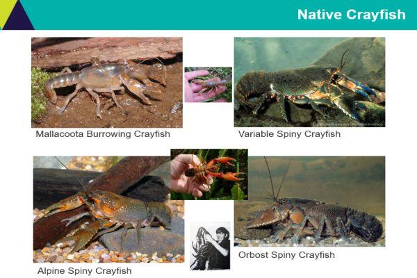 Tarmo Raadik 3 crayfish - in talk to SWIFFT 26 March 2020