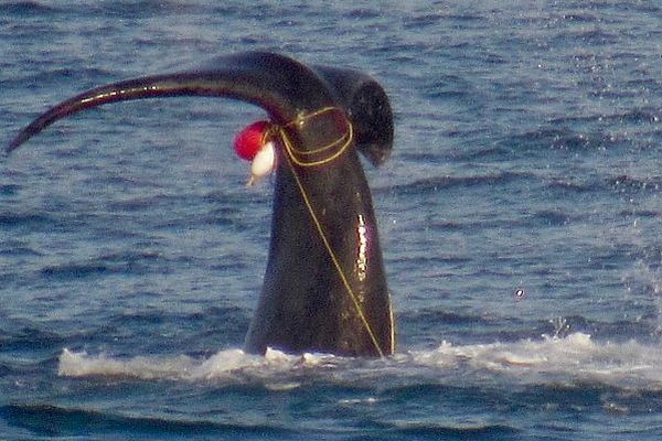 Southern Right Whale entangled in fishing equipment in waters off Marengo, near Apollo Bay, 10 September 2018. Image: Willie Bedford