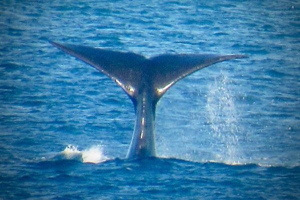 Southern Right Whale tail Image Willie Bedford