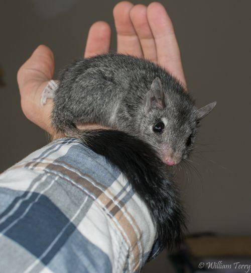 Brush-tailed Phascogale in care William Terry