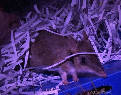 Release of Eastern Barred Bandicoot at Churchill Island. Source: Zoos Victoria.