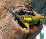 regent parrot 150