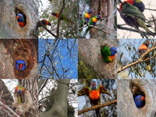 Hames 2a Rainbow Loreekets Video conf. Citizen Science