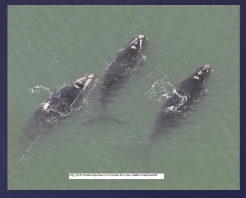 Watson 1 video conf notes 1 Feb 2018 Southern Right Whale