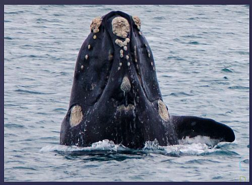 Watson 2 video conf notes 1 Feb 2018 Southern Right Whale
