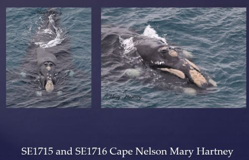 Watson 5 video conf notes 1 Feb 2018 Southern Right Whale