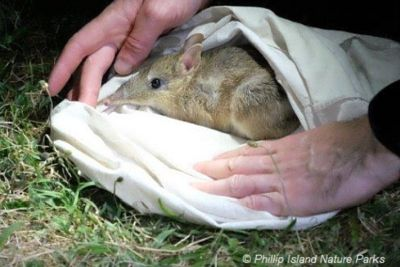 Eastern Barred Bandicoot Project Phillip Island Nature Parks