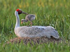 brolga and chick 277 205