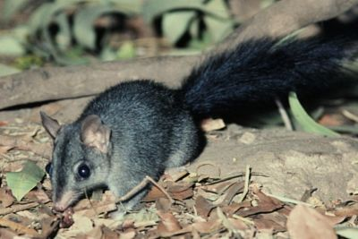 Brush-tailed Phascogale project