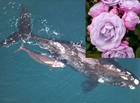 rose and whale
