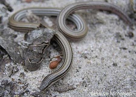 Striped Worm-lizard