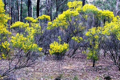Whirrakee Wattle Biolink - Whipstick to Bendigo Creek
