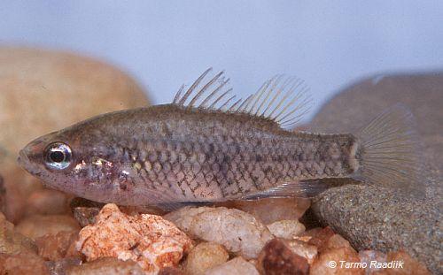 Yarra Pygmy Perch