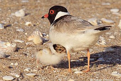 Beach Nesting Birds education